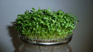 broadleaf garden cress sprouting bowl