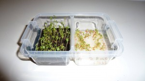 cress_earth_vs_cottonwool_day3