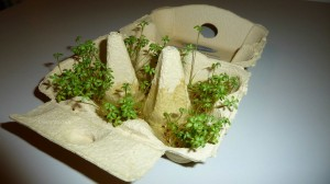 cress_in_eggcarton