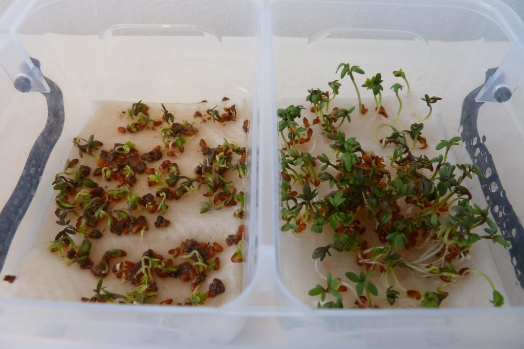 cress_paper_towel_day3