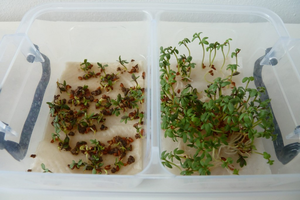 cress_paper_towel_day4