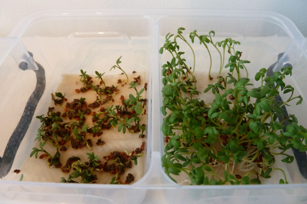 cress_paper_towel_day5