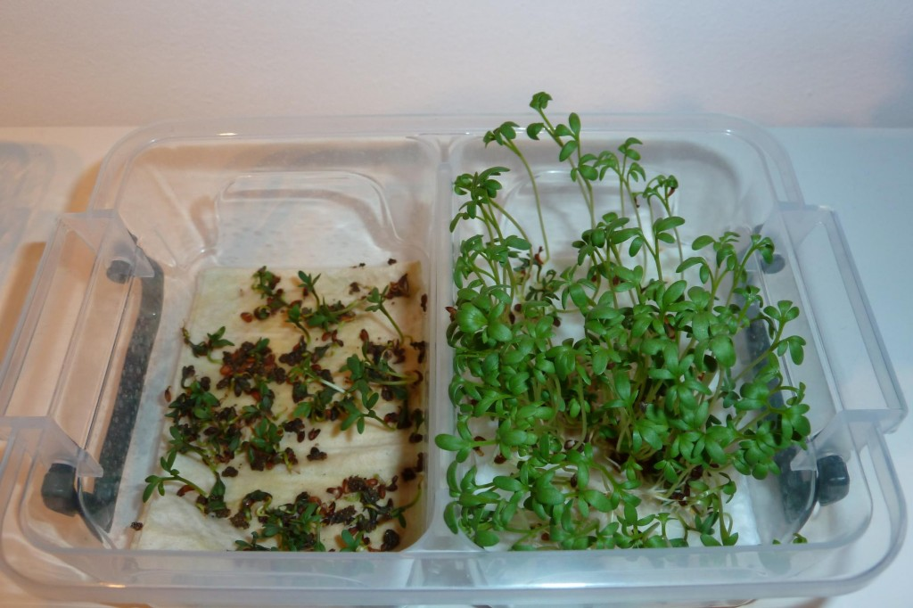 cress_paper_towel_day7